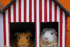 Two guinea pigs in a red and white stripey box with a roof
